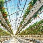 TOP-PLANT Strawberries клубника