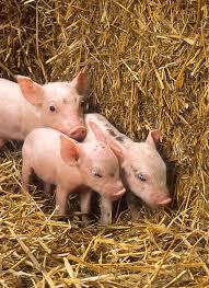 Польша свиноферма