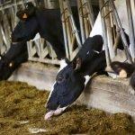 Доярка животноводческое хозяйство Польша